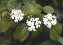 Viburnum_dilatatum_fleurs